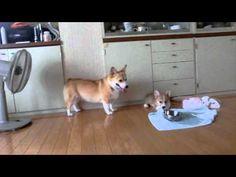 コーギー 子犬のコロコロ感