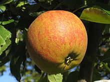 Cox's Orange Pippin apple  -- because of Dahl's book: Danny, the Champion of the World.
