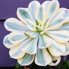 Aeonium - Top Types of Succulents for Home Gardens - Sunset