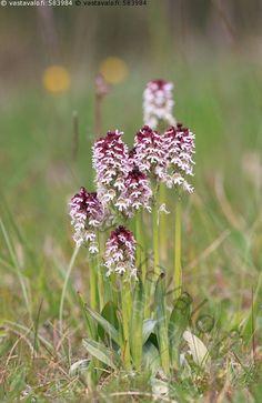 Palokämmekät - palokämmekkä kukassa kukkii kukinta kukinto kämmekkä orkidea alvari keto Neotinea Orchis ustulata kesä luonto kasvusto ryhmä
