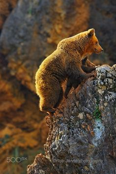 This little cub is learning climbing by his mom. She is so carefully, the cub is climbing between the front legs, so she can't fall.