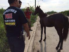 Rescatan bomberos a una yegua que se enredó en alambrada - Punto MX