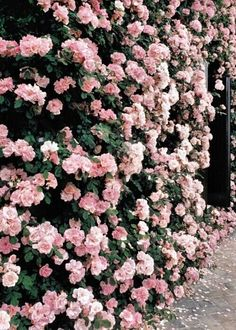 Wall of roses.I have a picture of me and my cousin in front of a wall of roses just like these in Wishram, Washington. Wall Of Roses, Rose Wall, Wall Of Flowers, Pink Roses, Pink Flowers, Pale Pink, Flowers Pics, Cheap Flowers, Flower Pictures