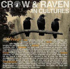 Different cultural backgrounds involving the Crow. Blackbird Singing, Irish Mythology, Animal Spirit Guides, Raven Spirit Animal, Quoth The Raven, Raven Art, Crows Ravens, Animal Totems, Folklore