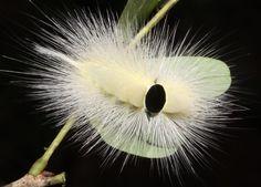 Calliteara horsfieldii, a Tussock Moth caterpillar, Cambodia. Photo by Richard Seaman.