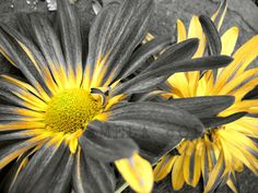 yellow flowers dahlias art: black white yellow by EquusFancy