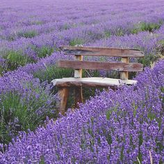 Rustic bench in a field of gorgeous lavender...wow