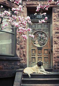 lovely - magnolia tree, beautiful door, beautiful dog