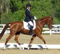 Rivera   Dressage Horses For Sale   DressageMarket.com