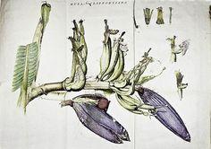 『Musa Cliffortiana』よりバナナの花の絵(銅版手彩色) カール・フォン・リンネ