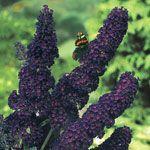 Black Knight Butterfly Bush, 1