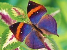 Mariposa azulejo