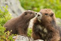 Image result for marmot