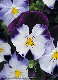 How to grow pansies: See our helpful tips on planting, deadheading & fertilizing to grow your best pansies. Plus learn about some beautiful varieties we recommend growing. Rare Flowers, Exotic Flowers, Colorful Flowers, Purple Flowers, Beautiful Flowers, Yellow Roses, Pink Roses, White Hibiscus, Flower Landscape