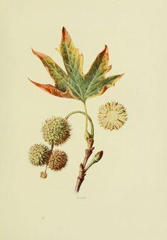 Platane d'orient - platanus orientalis - fruits sauvages campagne