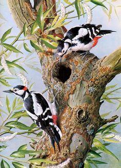 Great Spotted Woodpecker - 1980 Vintage Bird Print by Basil Ede Wildlife Paintings, Wildlife Art, Animal Paintings, Pretty Birds, Beautiful Birds, Kinds Of Birds, Bird Illustration, Bird Pictures, Cross Paintings