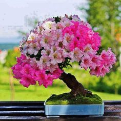 Azalea bonsai. I would love to have bonsai trees. Maybe this will be the year.