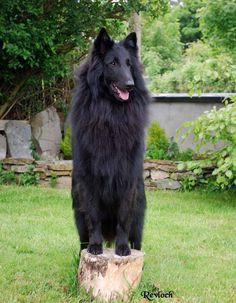 the history making Ch Revloch Figo, the first Belgian Shepherd Groenendael to win BIS All Breeds in both Ireland and the UK... REVLOCH, home of Belgian Shepherds, Schipperkes, and Australian Silky Terriers in Ireland