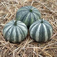 Silver Edge- Heirloom- Origin Native American- These pumpkins are medium size 5-8# round to pear shaped, white with green stripes with silver-edge seeds. They are grown for its beautiful, delicious seeds that are very large and white with silver edges, hence the name. Their very attractive for decorations are still popular in some parts of Mexico used in roasted pipits or in papain sauce.
