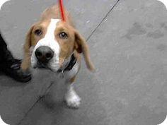 Basset Hound Mix Dog for adoption in Mesa, Arizona - A3546675 Maricopa County Animal Care & Control East Valley,Mesa AZ