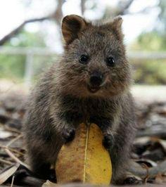 Cousin des kangourous le Quokka est un marsupial qui affiche en permanence un sourire  Via https://www.facebook.com/pages/Allô-le-Monde/359222010846231