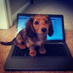 My miniature long haired dachshund puppy. www.savingpepper.com More #Dachshund
