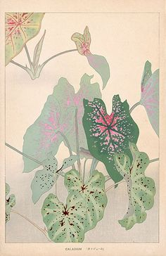Chigusa Soun Flowers of Japan Woodblock Prints 1900 Caladium Art And Illustration, Gravure Illustration, Illustrations, Botanical Drawings, Botanical Art, Painting Inspiration, Art Inspo, Kunst Inspo, Illustration Botanique