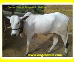 Cute Ongole Cow Images. Ongole Cattle at Nellore