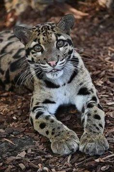 Gorgeous Clouded Leopard You are in the right place about Feline meow Here we offer you the most bea Small Wild Cats, Big Cats, Crazy Cats, Cool Cats, Cats And Kittens, Majestic Animals, Rare Animals, Animals And Pets, Beautiful Cats