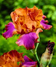 Bearded Iris 'Battle Star' | Plants from Bakker Spalding Garden Company