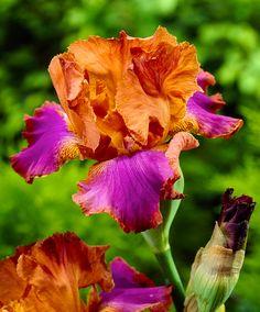 Iris des Jardins 'Battle Star' | Plantes | Bakker France
