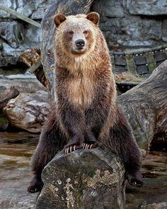 Grizzly Bear (by Debbie Molnar)
