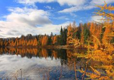 """The Tramaracks of Autumn"" Photo by Mike Crowley  While we were driving around northern Vilas County Wisconsin, we came to this little no name lake with a whole shoreline on tamaracks glowing like they were on fire. Tamaracks are one of the very few pine trees or conifers that lose their needles every year in late October and early November.    © Copyright 2016, Life in the Northwoods"