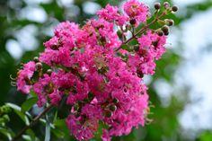 Lagerstroemia, Begonia, Plantar, Solar, Trees, Flowering Plants, Growing Plants, Geraniums, Factors