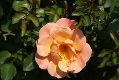 Deloitte & Touche - Ludwigs Roses | This tough rose has a spreading growth habit forming a dense shrublet. It produces charming semi-double flowers of a striking blend of peach & apricot with tones of bright orange. It flowers most generously. This rose is superb when grown in pots, as low hedges, covering large beds, slopes & particularly when grown on a standard.