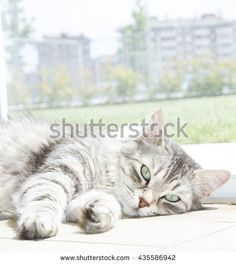 Beautiful female of siberian cat, silver version - stock photo - new on @shutterstock #kittens #pets #animals #cute #gatti #whelp #little #feline #puppies #siberian #meow #cubs #cats