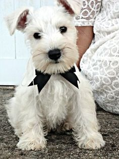 white miniature schnauzer...need this puppy  (yinely.tumblr)