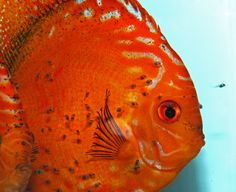 Aqua Research Center by Joe Gargas. Some of the healthiest fish you will find, and he's one of the most knowledgable discus & angelfish experts.