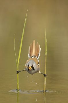 A male bearded reedling catches a cranefly. This species is a master of balance and the bird was spotted by Dutch photographer Edwin Kats using two stems to position itself over a shallow stream. He noticed the small bird - also know as a bearded tit - looking out for a snack. When a tasty cranefly flitted by, the reedling was able to dip down and catch it in one swift motion.