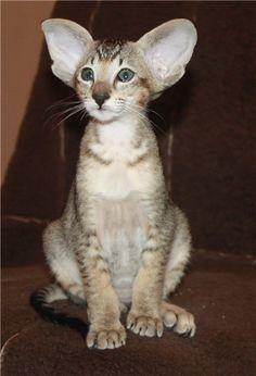 "* * AMIKOSHI CAT: "" Der not be a salmon o' doubt dat Selective Breeders be goin' berserk fer de bucks. Dey makes me feelz like pushin' dem aways wif a sharp stick! I Love Cats, Crazy Cats, Cool Cats, Cornish Rex, Pretty Cats, Beautiful Cats, Chat Oriental, Kittens Cutest, Cats And Kittens"