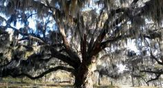Natural southern charm in Beaufort's live oak trees.  This live oak is located across the bridge from downtown Beaufort at the old Whitehall Plantation, a once-700 acre rice plantation built in 1790, but no longer standing today. Photo Gene Brancho