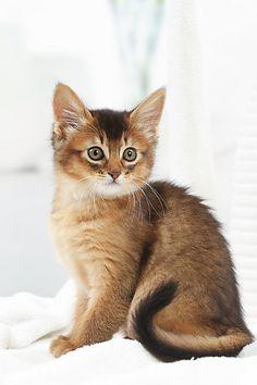 CAT 03 JE0428 01 © Kimball Stock Somali Kitten Sitting On Bed