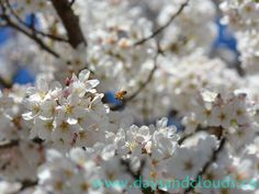 Spring arrived early in Seattle, Wash., as many cherry