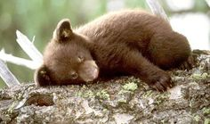 Tired bear cub