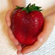 Egrow Giant Red Strawberry Seeds Heirloom Super Japan Strawberry Garden SeedsI'm really not an apple!Description :Egrow Giant Red Strawberry Seeds Heirloom Super Japan Strawberry Garden SeedsThis giant strawberry comes from Japan, it . Giant Strawberry, Strawberry Seed, Strawberry Garden, Strawberry Plants, Grow Strawberries, Organic Seeds, Organic Fruit, Organic Vegetables, Gardening Vegetables