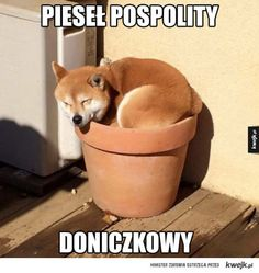 Thomas Sanders : Photo Shiba in pot Animals And Pets, Baby Animals, Funny Animals, Cute Animals, Shiba Inu, Cute Creatures, Beautiful Creatures, Cute Puppies, Dogs And Puppies