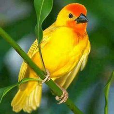 Ave amarilla y cabeza naranja.