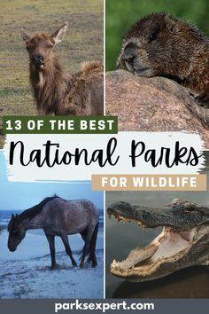 A list of 13 of our favorite national parks for wildlife sightings in the U.S. This includes everything from whales to birds in places like Acadia and Denali. | National Parks for Wildlife | #nationalparks