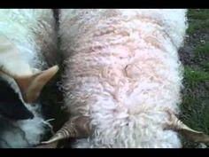 Heuspender für Schafe mit Hörnern - YouTube Ich mußte zuletzt das Heunetz töten. Es hatte sich wie eine fleischfressende Pflanze um die Hörner unseres Schafbocks gewunden.   Nun ist die Gefahr gebannt und die Drei können wieder in Ruhe ihr Heu fressen. Guten Appetit