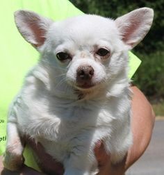Meet Butter Ball 22342, a Petfinder adoptable Chihuahua Dog | Prattville, AL | Butter Ball is an 8-to-10 year old female Chihuahua who has already been spayed. She is snow white...